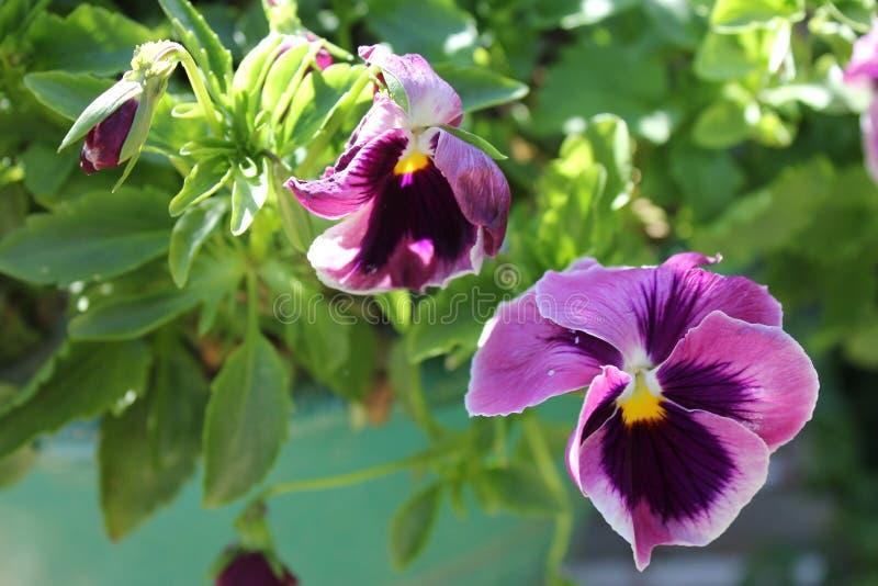 Flores roxas no jardim fotografia de stock royalty free