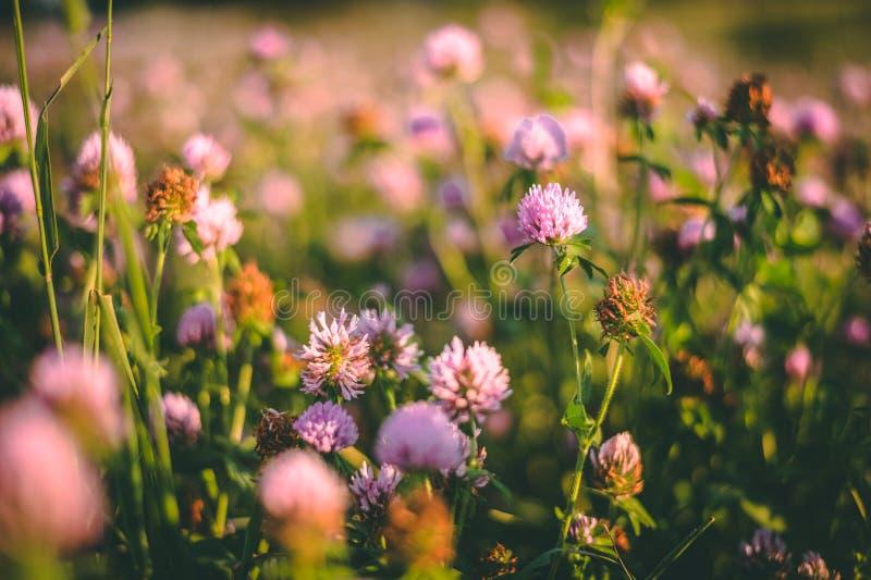 Flores roxas no prado foto de stock