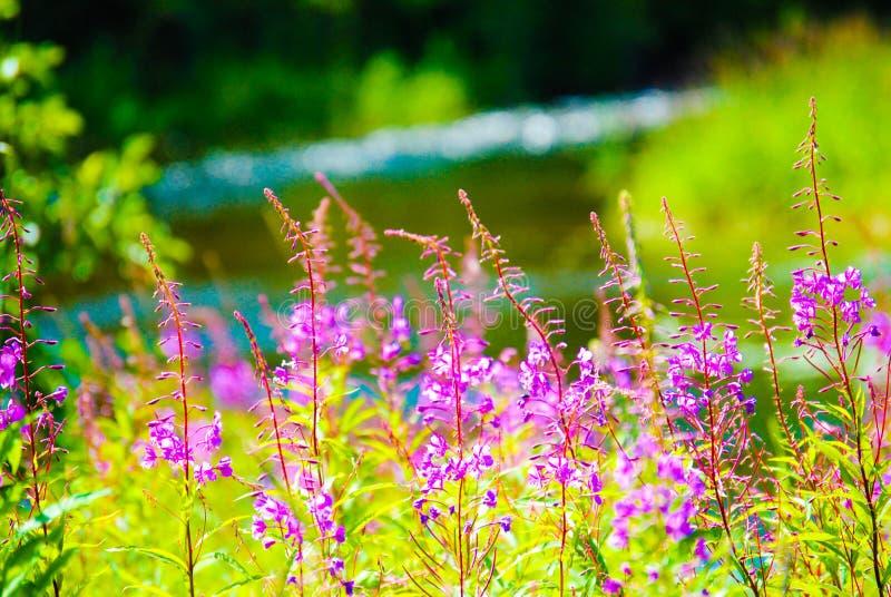 Flores roxas pelo rio foto de stock royalty free