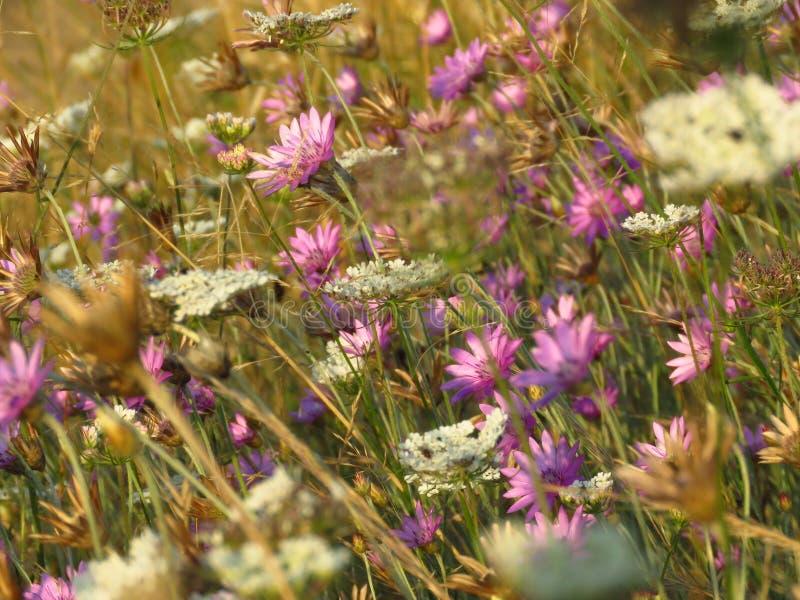 Flores roxas pequenas do rosa e as brancas do prado Apropriado para o fundo floral fotografia de stock