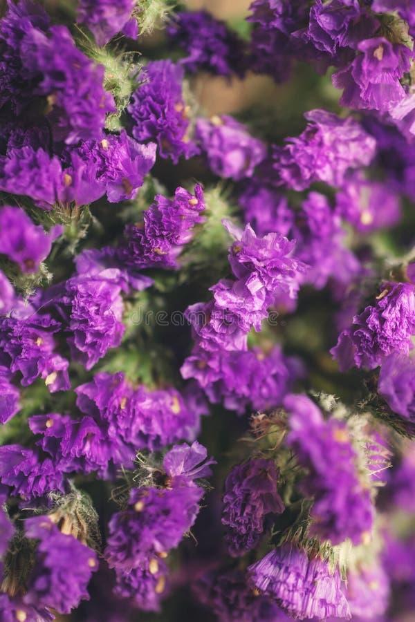 Flores roxas secas do limonium fotos de stock royalty free