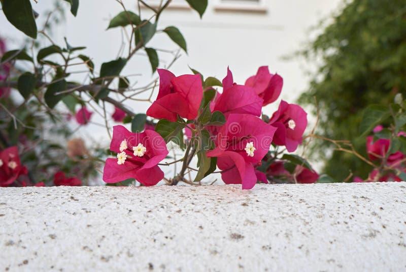 Flores roxas vermelhas da buganvília imagem de stock