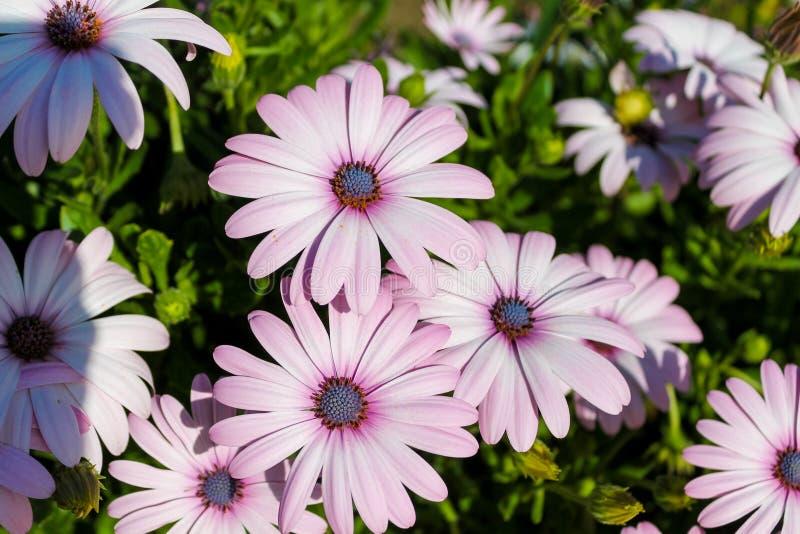 Flores roxas violetas bonitas no jardim fotografia de stock royalty free