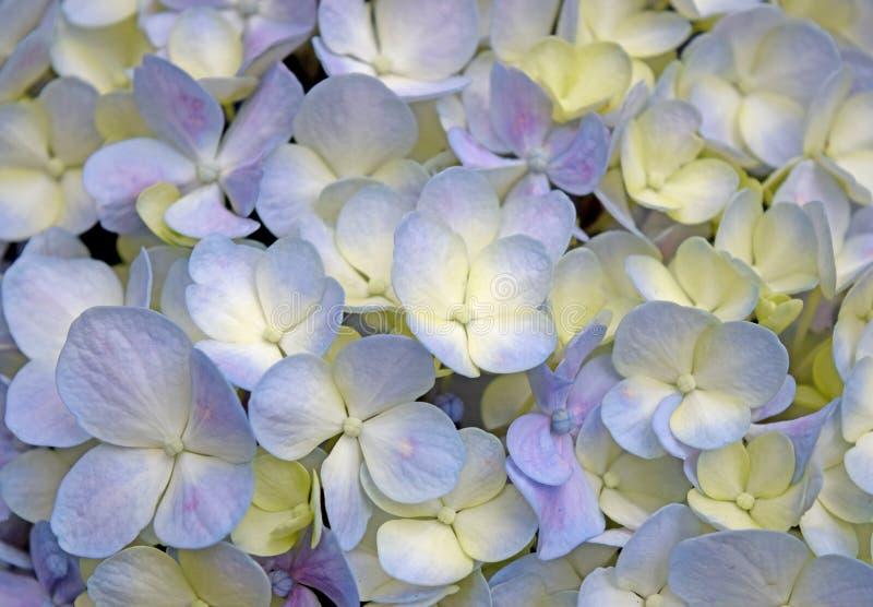 Flores Roxo-amarelas da hortênsia do fundo floral bonito do close-up fotografia de stock royalty free