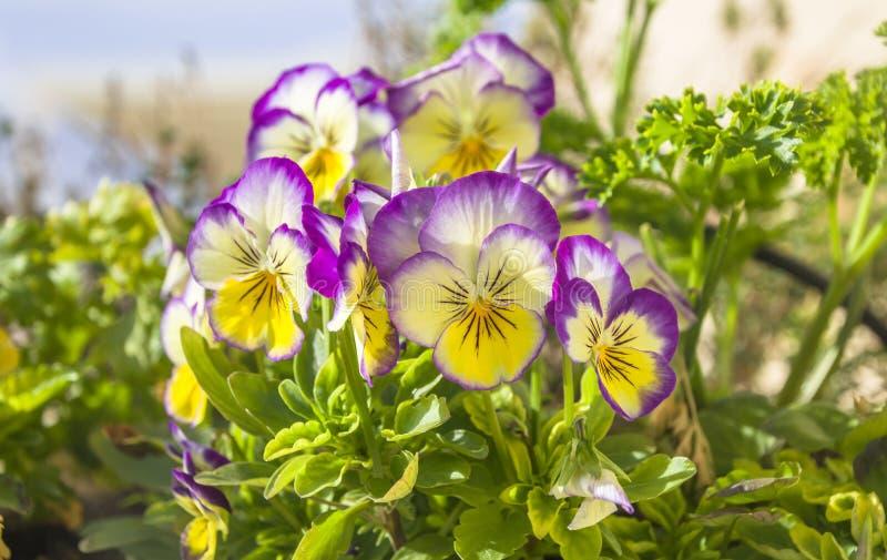 Flores roxo-amarelo-brancas do amor perfeito do jardim bonito do gênero viola fotografia de stock royalty free