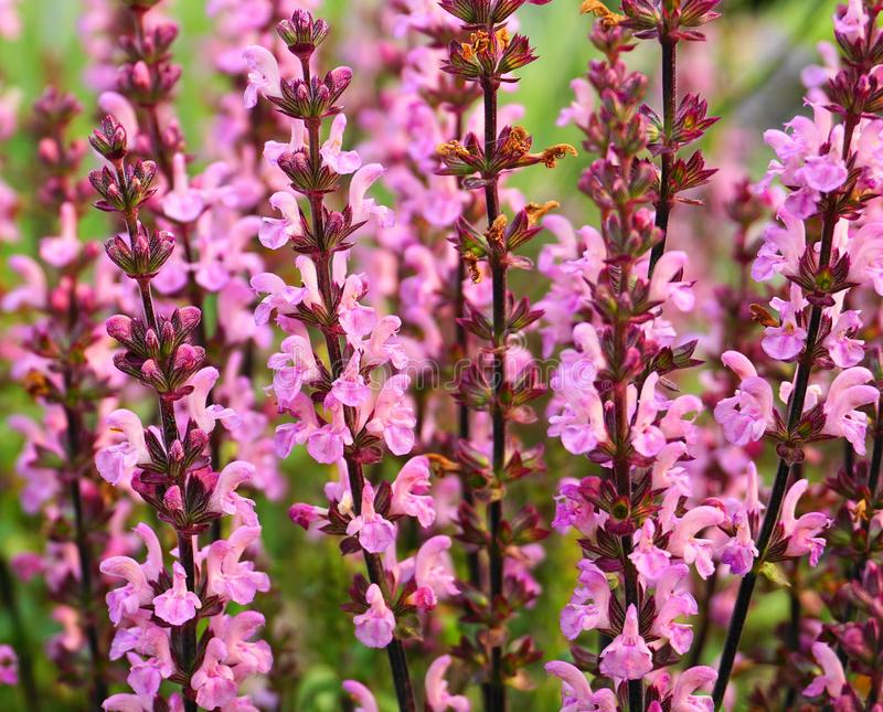 Flores sabias del prado hermoso cerca para arriba foto de archivo libre de regalías