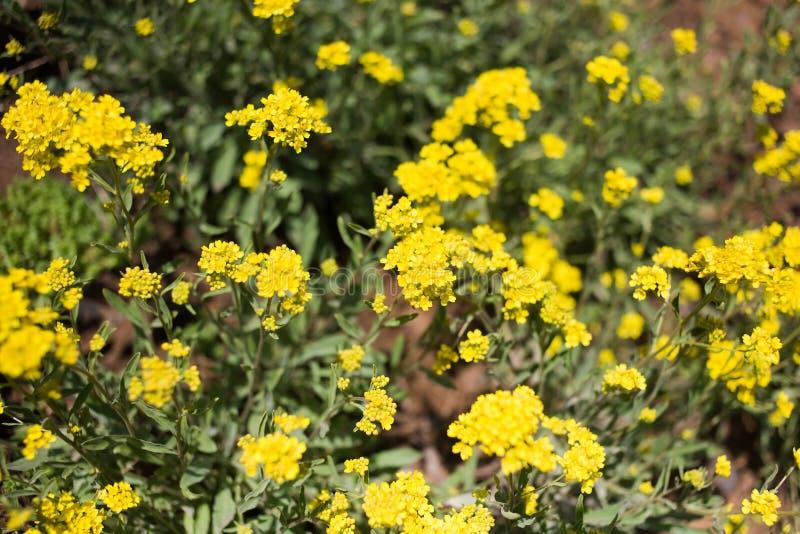 Flores salvajes amarillas imágenes de archivo libres de regalías