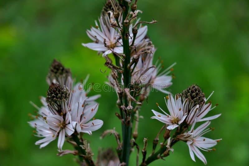 Flores salvajes blancas en el medio del bosque en la hierba verde imagen de archivo libre de regalías