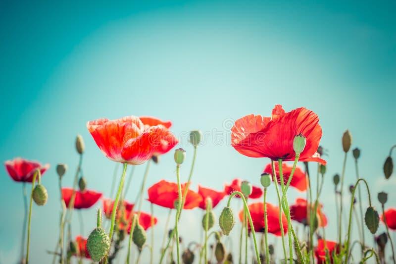 Flores salvajes de la amapola en prado del verano Fondo floral foto de archivo libre de regalías