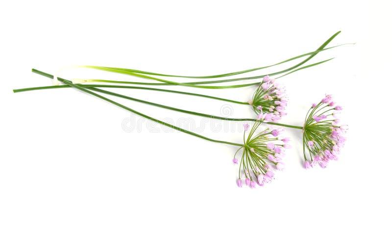 Flores salvajes de la cebolla del prado aisladas en el fondo blanco imágenes de archivo libres de regalías