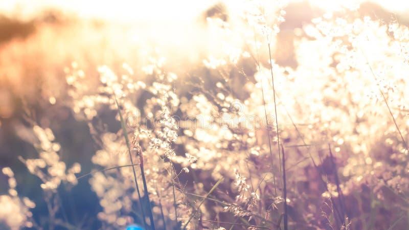 Flores salvajes de la imagen de falta de definición en el campo en fondo de la naturaleza de la luz de la puesta del sol fotografía de archivo libre de regalías