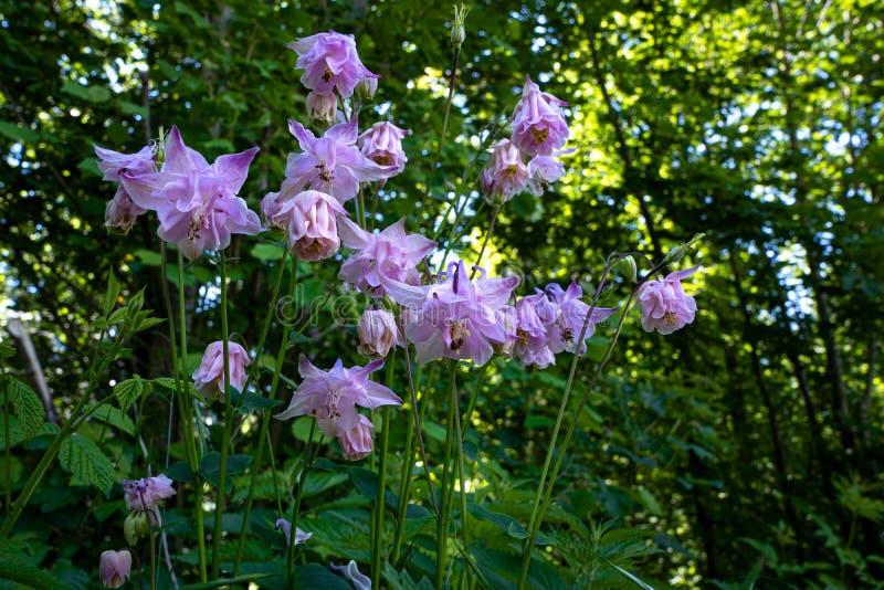 Flores salvajes de la lila en el bosque imagen de archivo