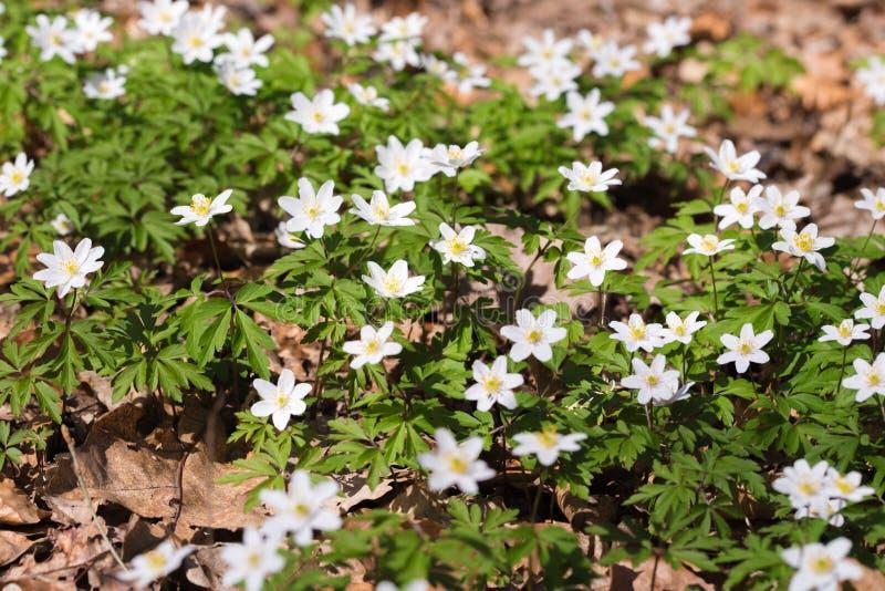 Flores salvajes de la primavera, anémona de madera, windflower, nemorosa de la anémona foto de archivo libre de regalías
