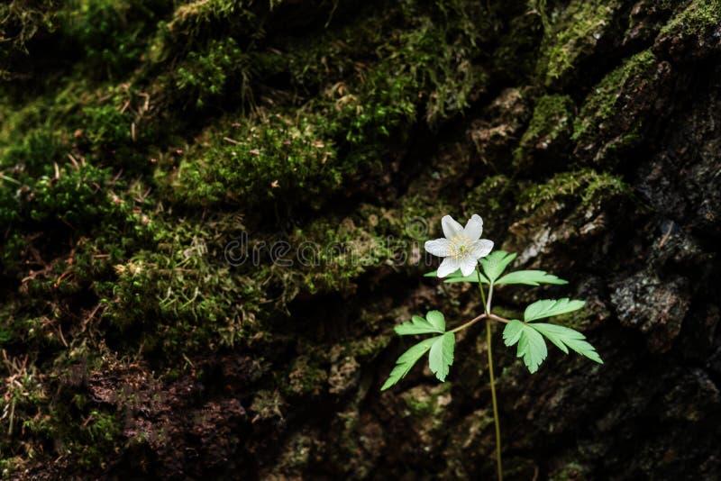Flores salvajes de la primavera - anémona de madera, windflower, nemorosa de la anémona foto de archivo libre de regalías