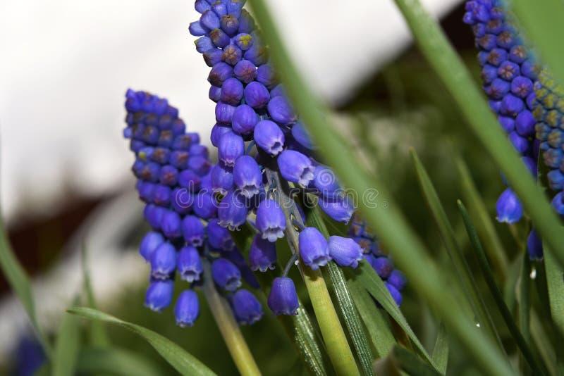 Flores salvajes de la primavera azul profunda fresca macra foto de archivo