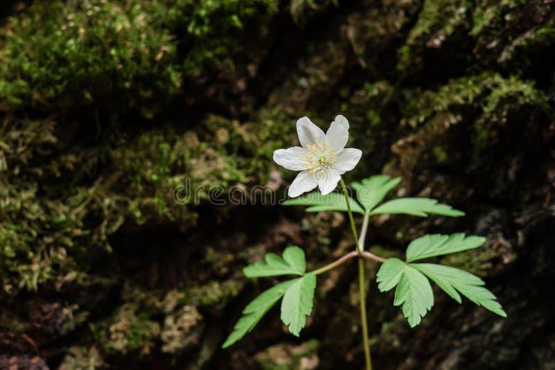 Flores salvajes de la primavera - an?mona de madera, windflower, nemorosa de la an?mona fotos de archivo