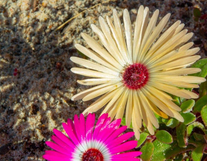 Flores salvajes de Portulaca de Suráfrica imagenes de archivo