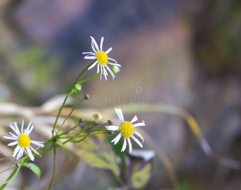 Flores salvajes del aster que suben imagenes de archivo