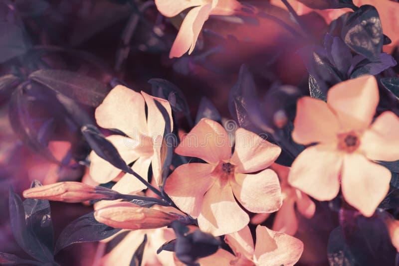 Flores salvajes del bígaro del prado de la primavera hermosa, rosa y colores púrpuras en la luz del sol, macra Fondo suave de la  imagenes de archivo