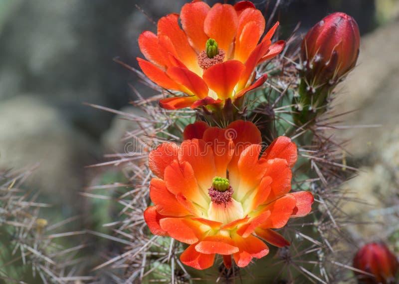 Flores salvajes del cactus de la floración de la primavera del desierto imágenes de archivo libres de regalías