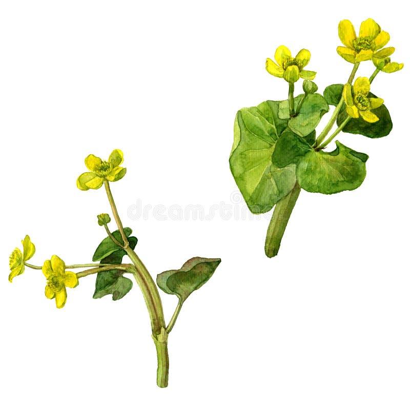 Flores salvajes del pantano amarillo de la acuarela ilustración del vector