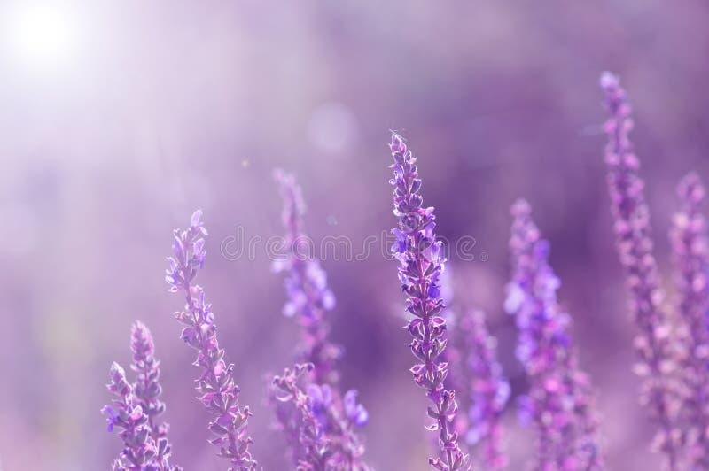 Flores salvajes del sabio Flores violetas con un fondo entonado Foco selectivo imagenes de archivo