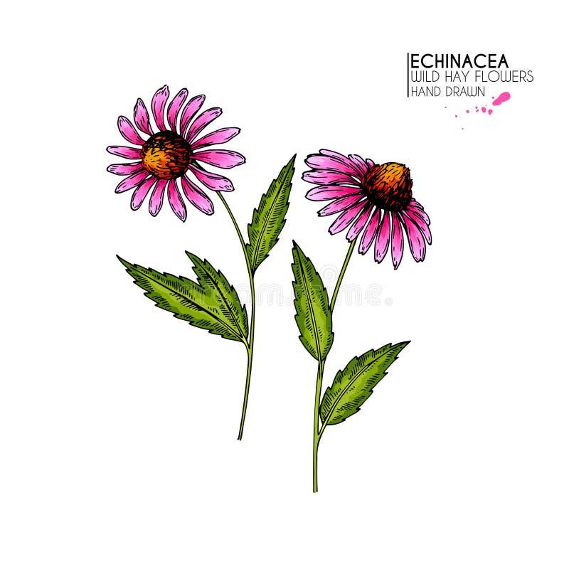 Flores salvajes dibujadas mano Flor del purpurea del Echinacea Hierba médica Grabado coloreado vintage Ejemplo botánico ilustración del vector