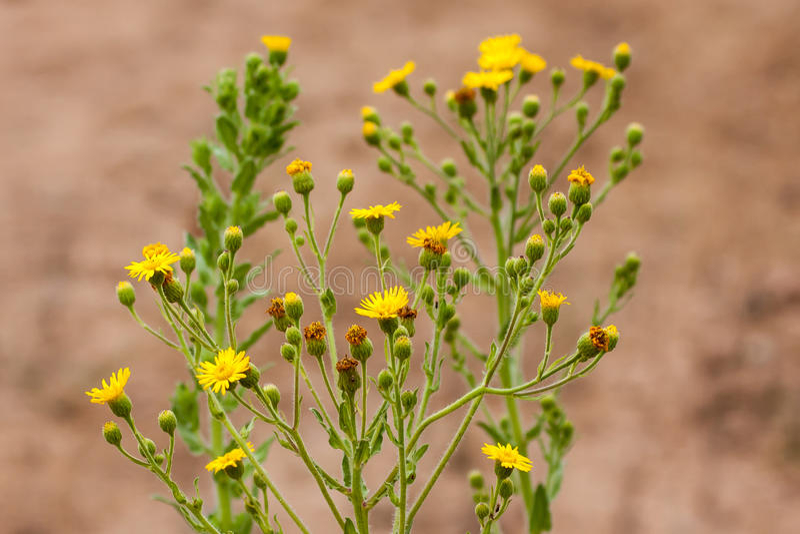 Flores salvajes en el parque del desierto de la costa de Laguna foto de archivo libre de regalías