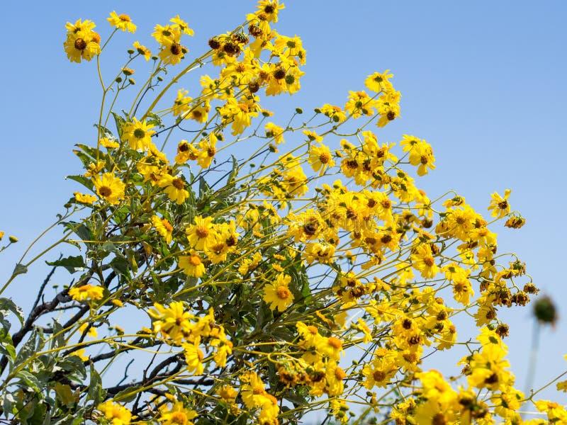 Flores salvajes en el parque del desierto de la costa de Laguna fotos de archivo
