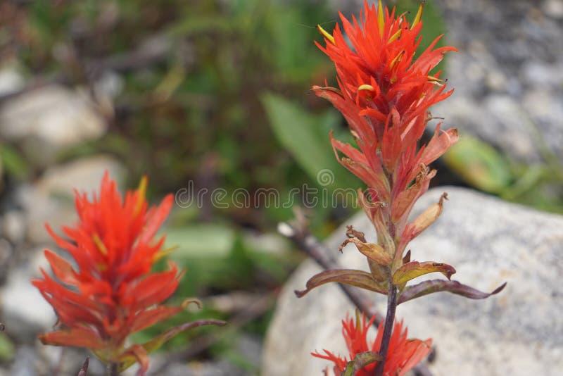 Flores salvajes en las montañas rocosas canadienses imagen de archivo