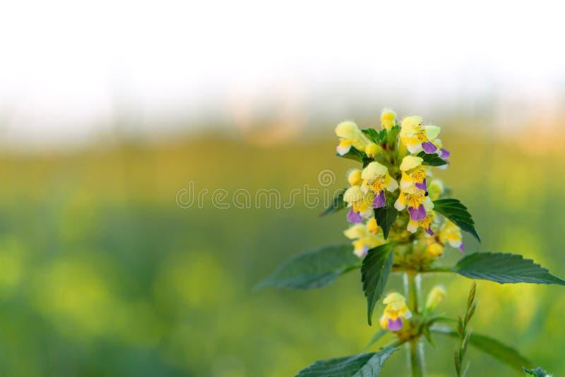 Flores salvajes en prado D?a de verano en el campo de la hierba Campo, paisaje del verano, acianos y manzanillas rusos foto de archivo
