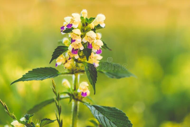 Flores salvajes en prado D?a de verano en el campo de la hierba Campo, paisaje del verano, acianos y manzanillas rusos foto de archivo libre de regalías