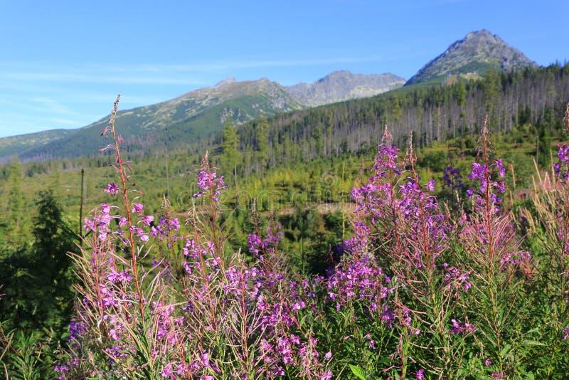 Flores salvajes en prado de la montaña en Tatras foto de archivo