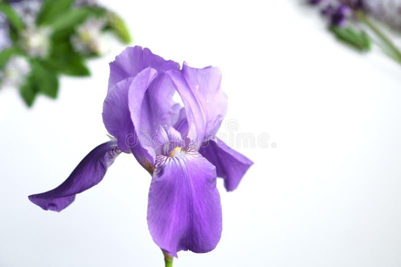 Flores salvajes en un fondo blanco, iris y lilas fotos de archivo libres de regalías