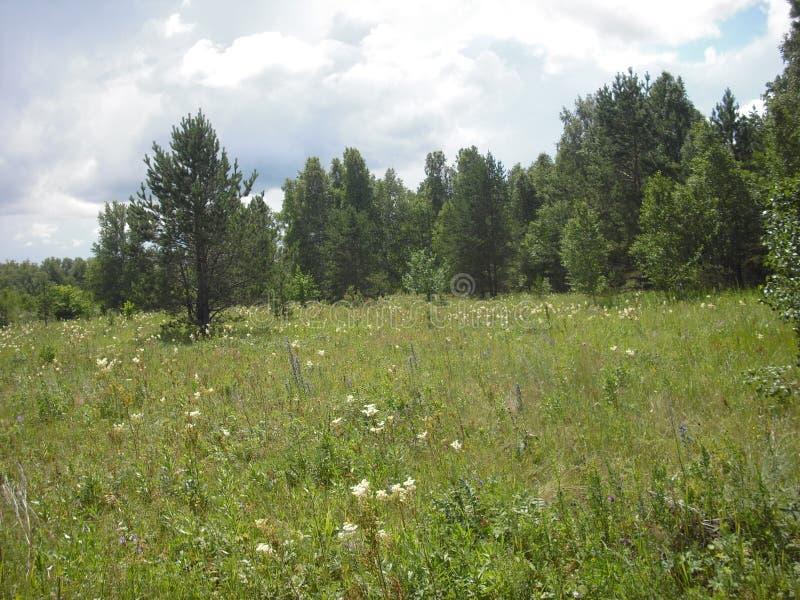 Flores salvajes en un prado soleado del verano fotos de archivo