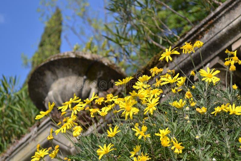 Flores salvajes hermosas amarillas de la margarita que adornan el jardín italiano antiguo foto de archivo
