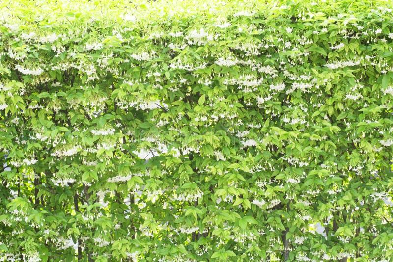 Flores salvajes hermosas del ciruelo del agua imágenes de archivo libres de regalías