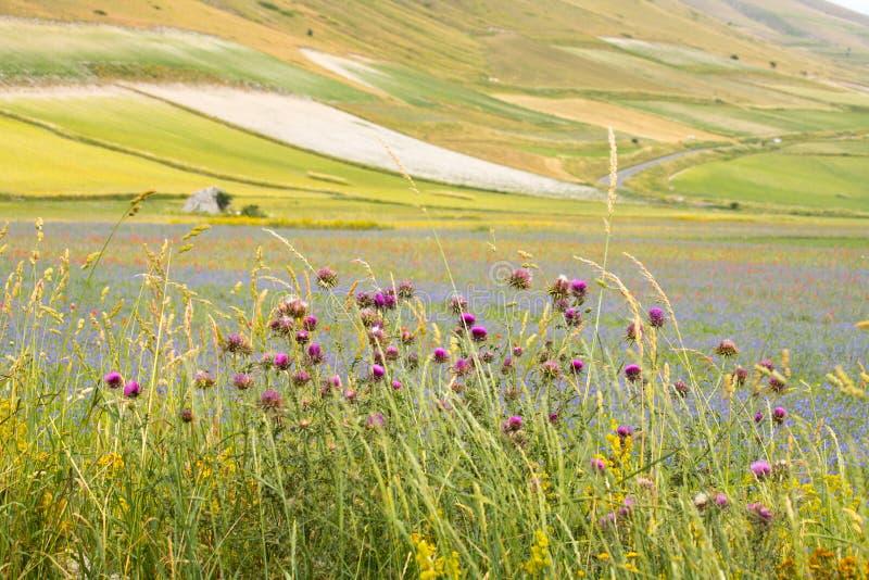 Flores salvajes púrpuras con el llano de Castelluccio di Norcia en el fondo Umbr?a, Italia imagenes de archivo