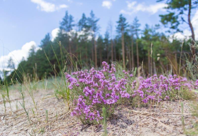 Flores salvajes púrpuras en un claro del bosque fotografía de archivo