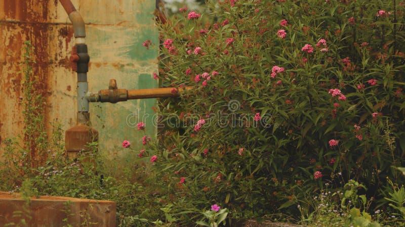Flores salvajes rosadas con la válvula del tubo de agua del vintage - fondo retro de la pared imagen de archivo