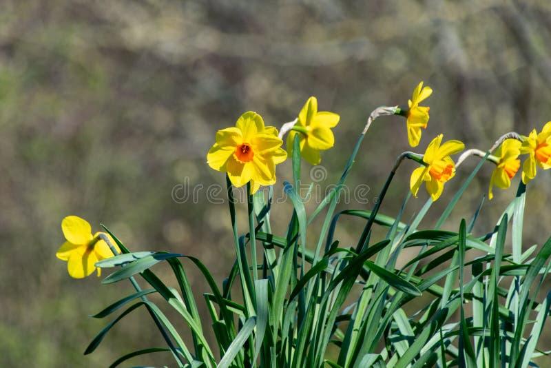 Flores salvajes vibrantes amarillas del narciso de la primavera fotografía de archivo