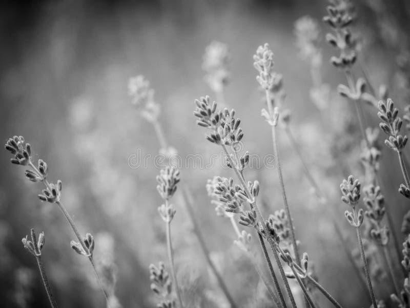 Flores Scented da alfazema no campo de Provence fotografia de stock