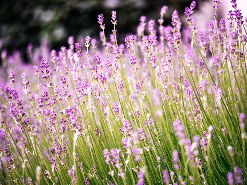 Flores Scented da alfazema no campo de Provence mim fotografia de stock