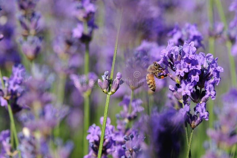 Flores Scented da alfazema no crescimento no campo foto de stock royalty free