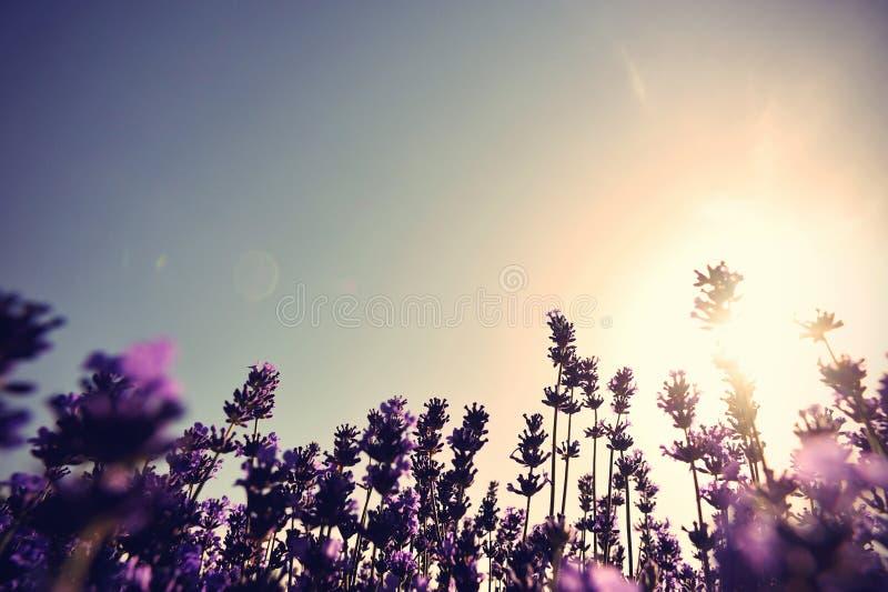 Flores Scented da alfazema no crescimento no campo fotos de stock