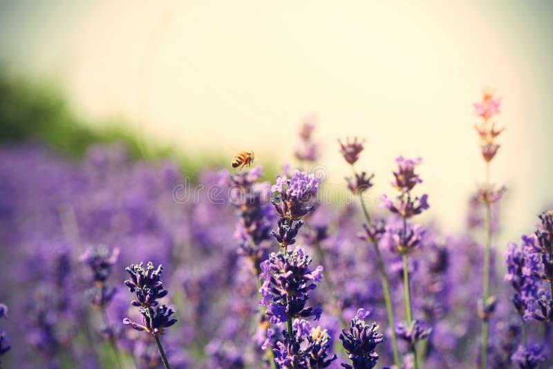 Flores Scented da alfazema no crescimento no campo imagens de stock