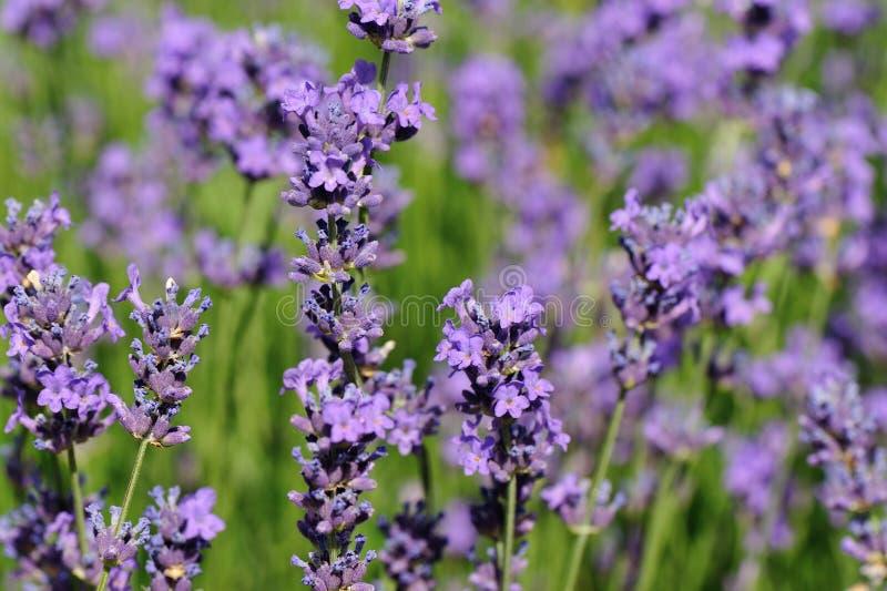 Flores Scented da alfazema no crescimento no campo fotografia de stock royalty free
