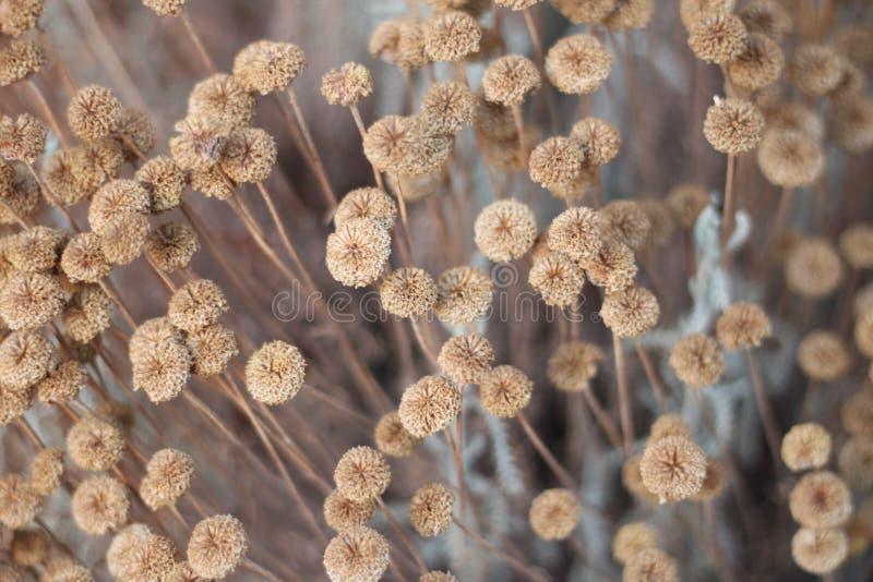 Flores secadas imagens de stock