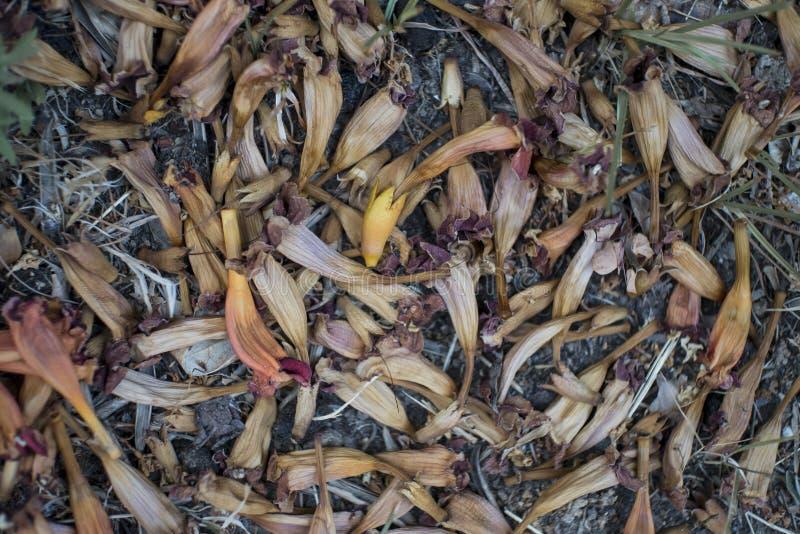 Flores secadas da trepadeira de trombeta na terra foto de stock royalty free
