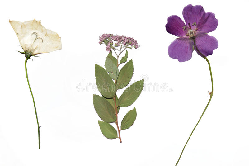 Flores secadas del jardín fotos de archivo libres de regalías